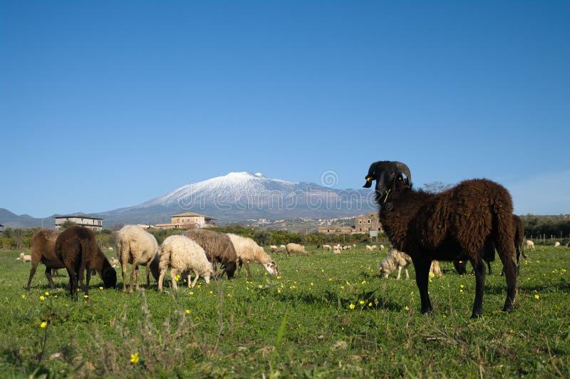 черные овцы штосселя стоковые изображения