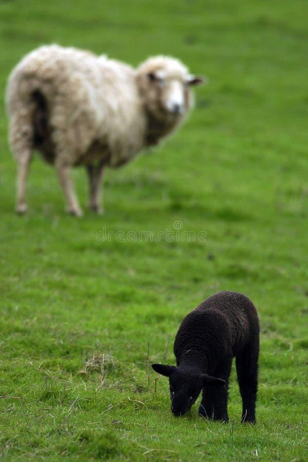 черные овцы стоковые фото