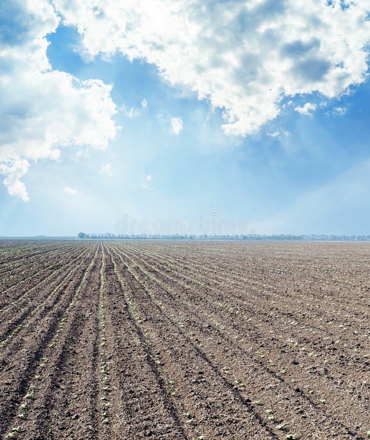 Черные поле земледелия с маленькими съемками солнцецветов и пасмурный стоковое фото rf