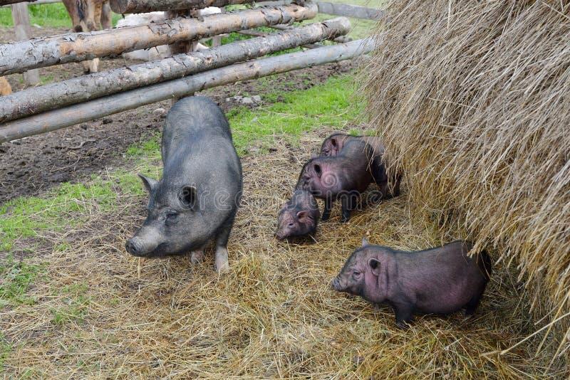 черные свиньи стоковые фотографии rf