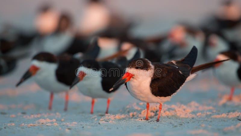 Черные шумовки в ряд, Флорида, Соединенные Штаты стоковое фото
