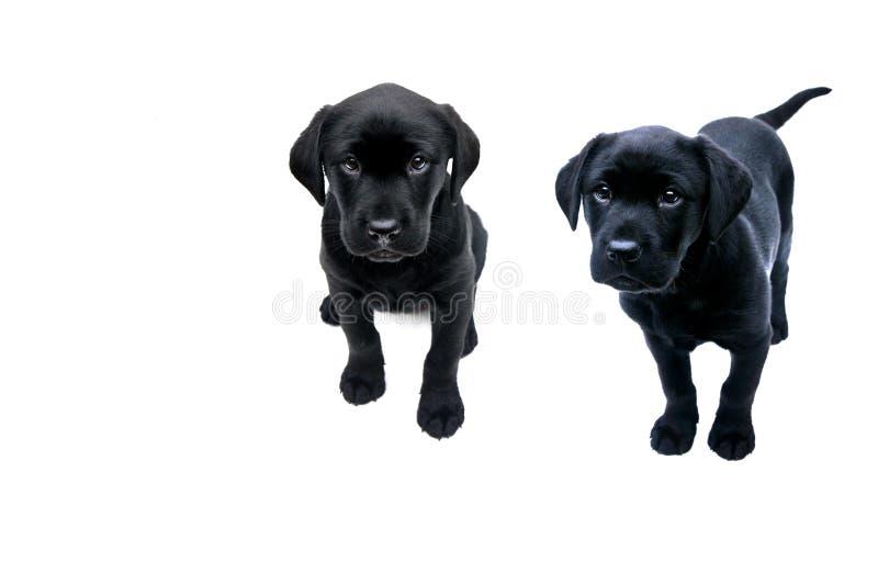 Черные щенята labrador стоковое фото rf