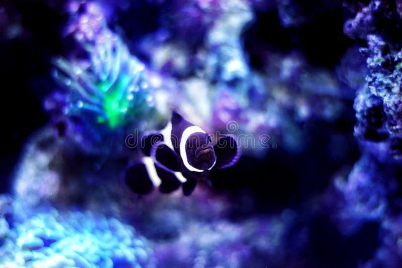 Черные clownfish Ocellaris Amphiprion стоковые изображения