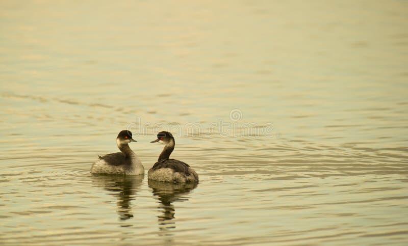 Download черные grebes пар necked стоковое фото. изображение насчитывающей grebes - 17612796