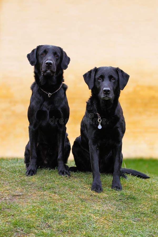 Download черные labradors стоковое фото. изображение насчитывающей множественно - 40582800