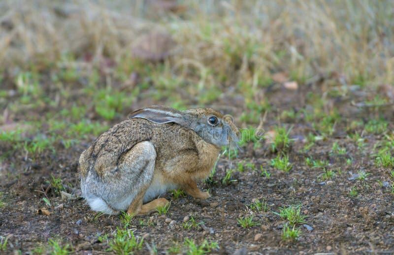 Черные naped зайцы, национальный парк Tadoba, район Chandrapur, махарастра, Индия стоковое изображение rf