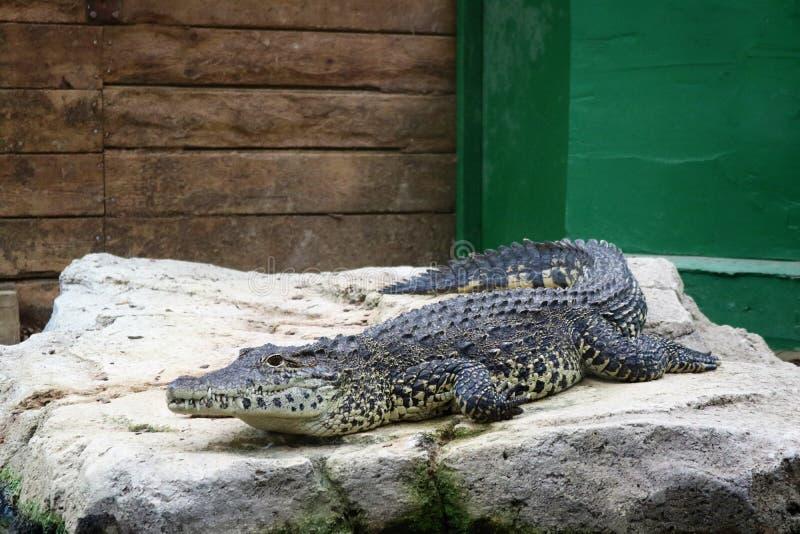 Черный аллигатор Caiman лежа на утесе около воды на привлекательности посетителей стоковые изображения