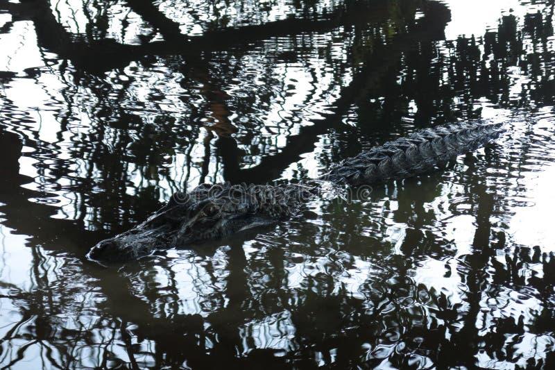 Черный аллигатор спрятанный в реке Yacuma стоковое изображение
