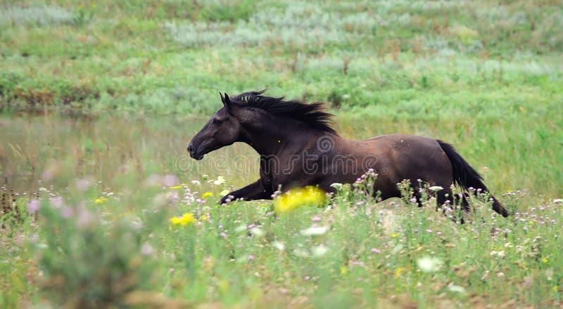 черный бежать лошади gallop поля одичалый стоковое изображение