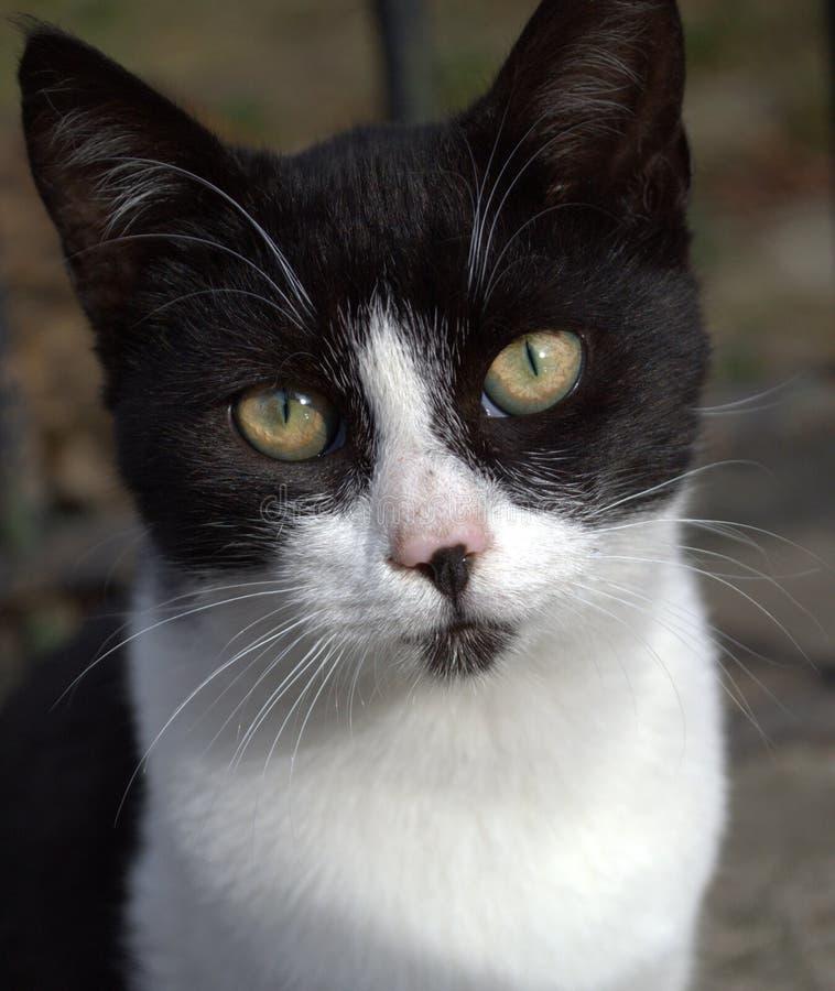 Черный белый кот стоковое фото rf