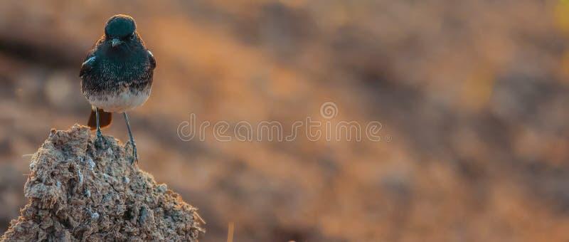 Черный воробей стоковое фото rf