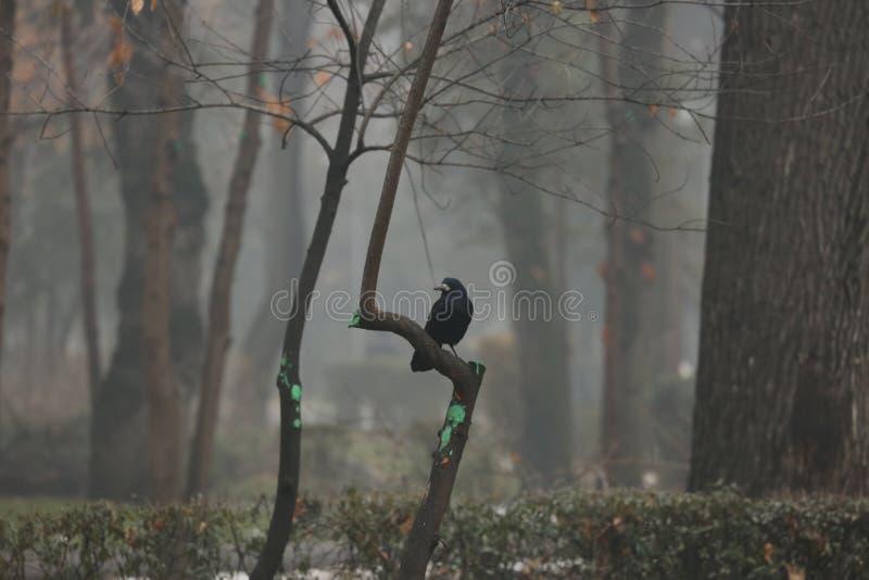 Черный ворон в тумане стоковое изображение rf