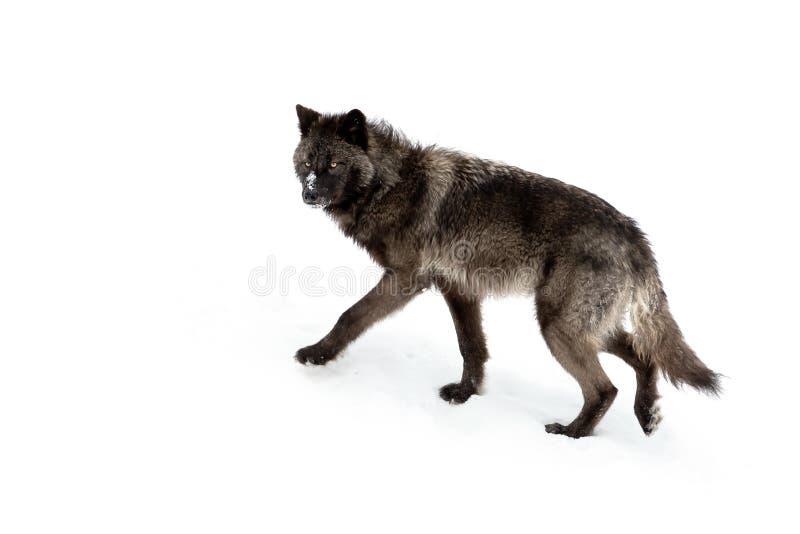 черный волк стоковые изображения rf