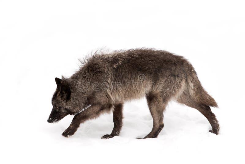 черный волк стоковые фото