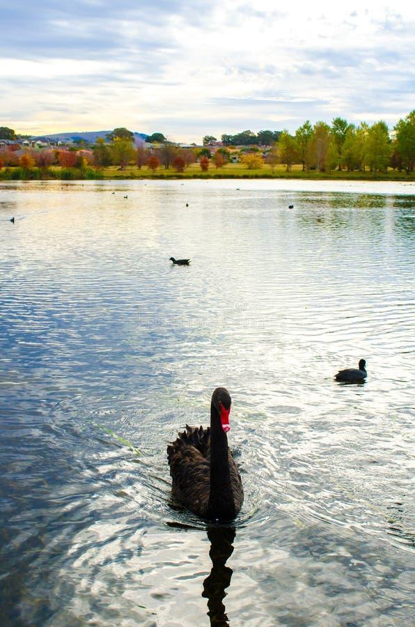 Черный лебедь в озере стоковая фотография rf