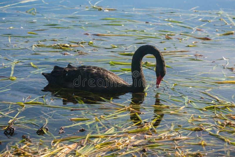 Черный лебедь ища для еды стоковые изображения rf