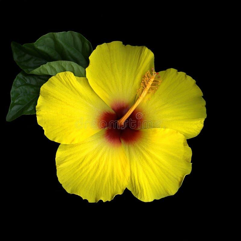 черный желтый цвет hibiscus стоковое изображение rf
