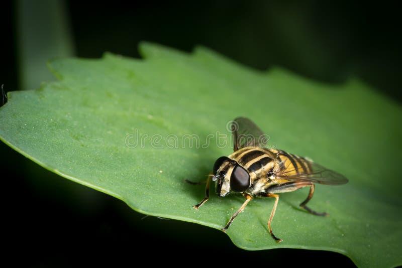 Черный желтый цвет hoverfly сидя на зеленых лист стоковые фотографии rf
