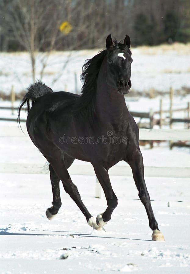 черный жеребец стоковое фото rf