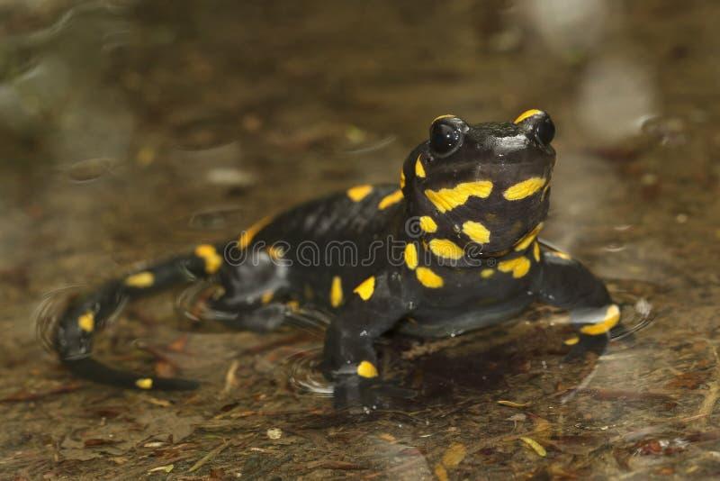 черный желтый запятнанный саламандр огня стоковое фото rf