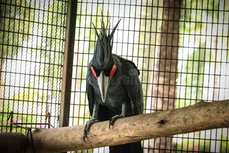 Черный какаду в клетке стоковая фотография rf