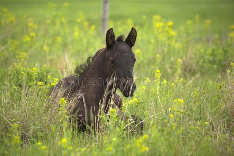Черный квартальный осленок лошади кладя в зеленый выгон с желтыми цветениями стоковая фотография rf