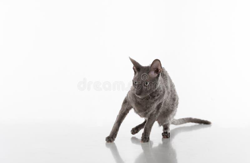 Черный корнуольский кот Rex сидя на белой таблице с отражением Белая предпосылка Портрет вспугнуто стоковые изображения rf