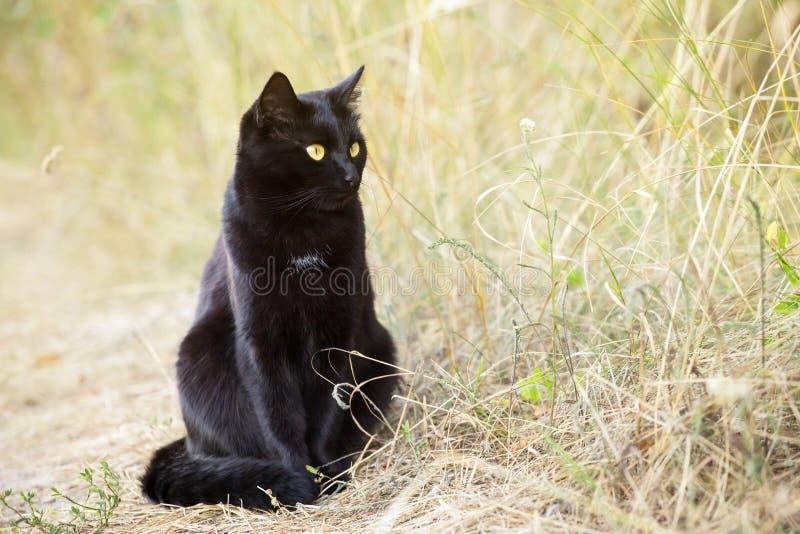 Черный кот в профиле с желтыми глазами и внимательном взгляде в зеленой траве в natureBeautiful черном коте bombay с стоковое изображение rf