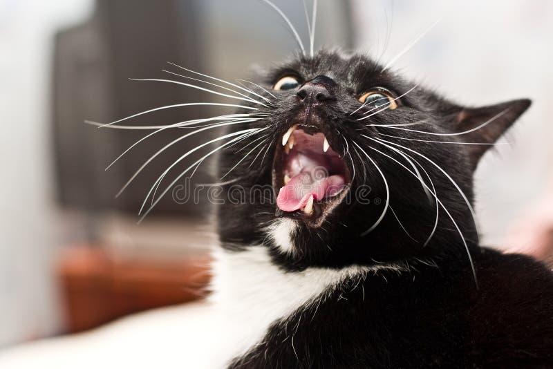 черный кот злой стоковое изображение