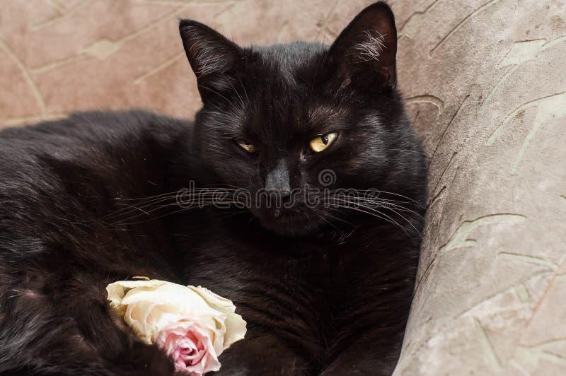 Черный кот на коричневом стуле отдыхая в хорошем настроении стоковые фотографии rf