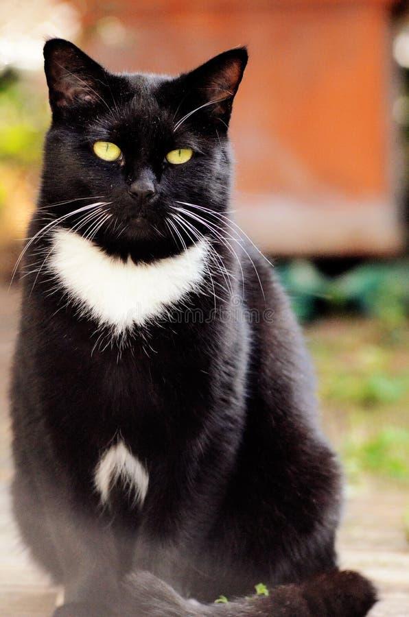 Черный кот с желтым цветом наблюдает снаружи в предпосылке двора стоковые изображения rf