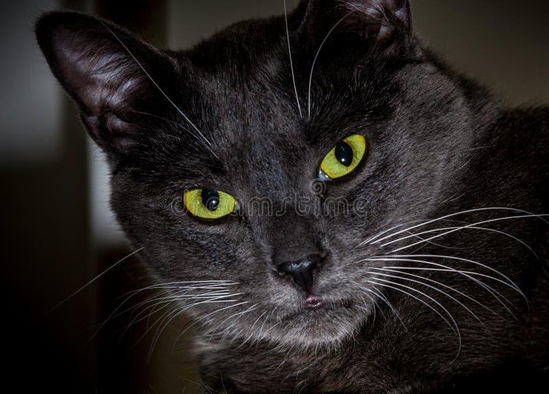 Черный кот с накаляя зелеными глазами Конец-вверх захватнической стороны стоковое фото rf