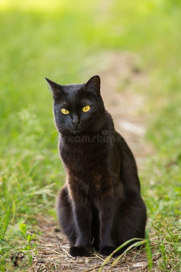 Черный кот bombay с желтыми глазами сидит outdoors в природе стоковая фотография