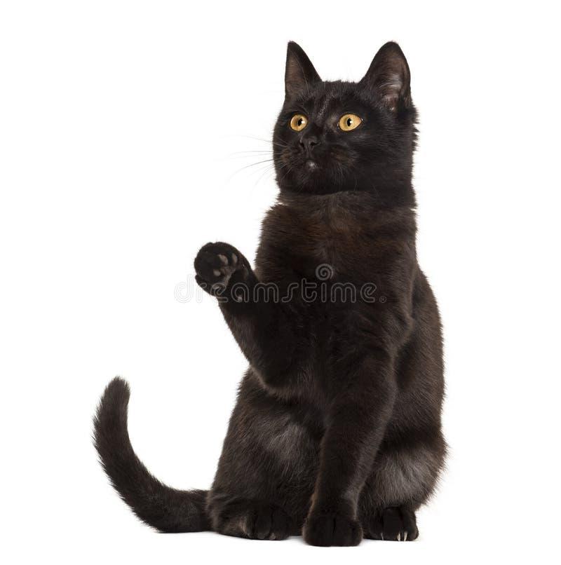 Черный кот pawing перед белой предпосылкой стоковое фото