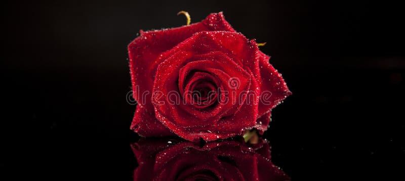 черный красный цвет поднял стоковая фотография rf