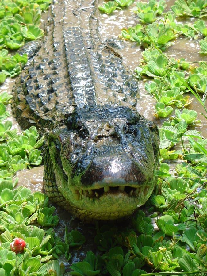 черный крупный план caiman стоковое фото