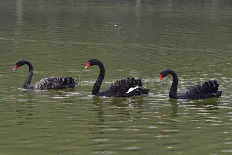 Черный лебедь бродяжничая в воде стоковые изображения rf