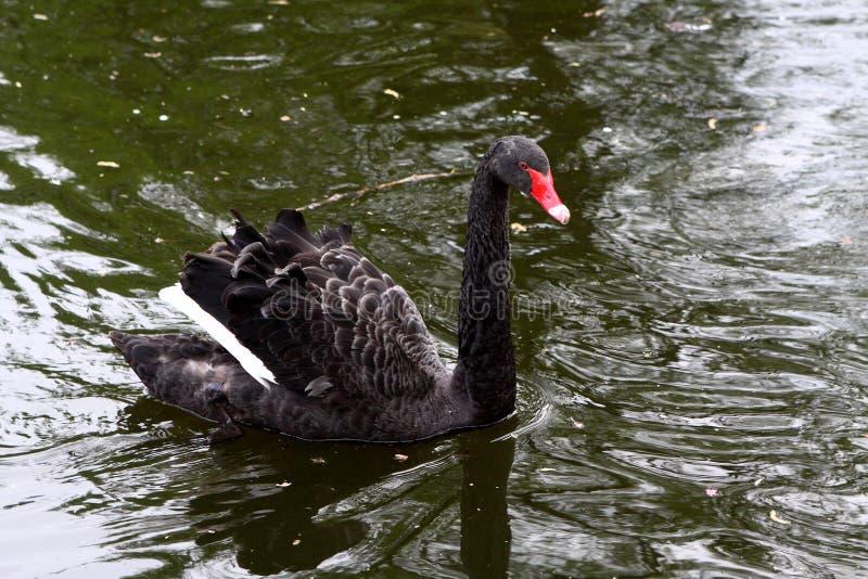 Черный лебедь в парке St James, Лондоне, Англии стоковое изображение