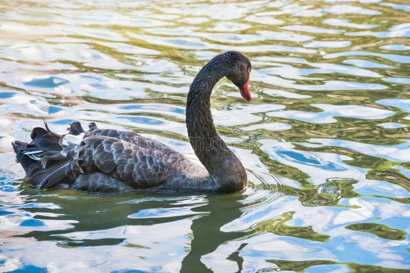 Черный лебедь плавая в пруде стоковые изображения rf
