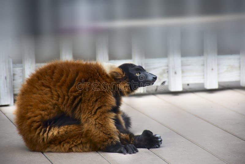 Черный лемур протягивая на палубе, или представление меня делая йогу стоковое изображение