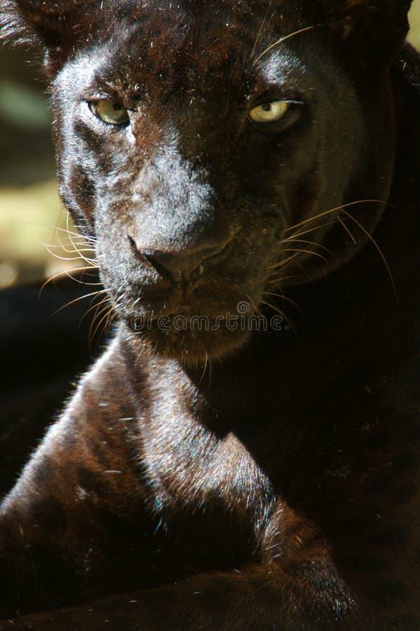 черный леопард стоковое фото