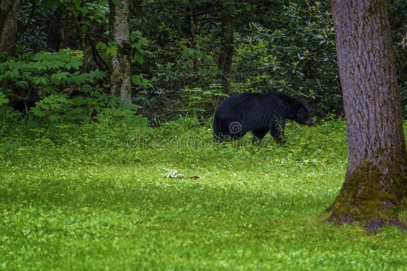 Черный медведь в долине бухты Cades в горах Теннесси закоптелых стоковое фото rf