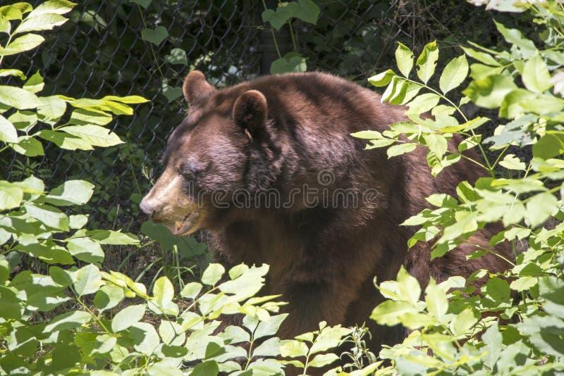 Черный медведь в зоопарке стоковые фотографии rf
