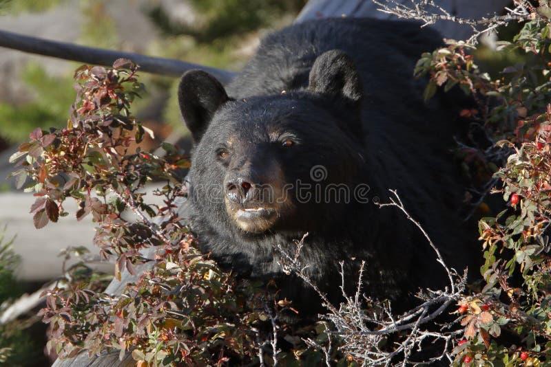 Черный медведь в национальном парке Йеллоустона стоковое изображение rf