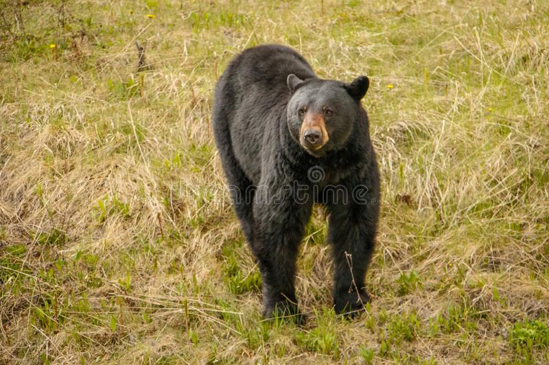 Черный медведь в национальном парке Kootney любопытно смотря вокруг стоковая фотография