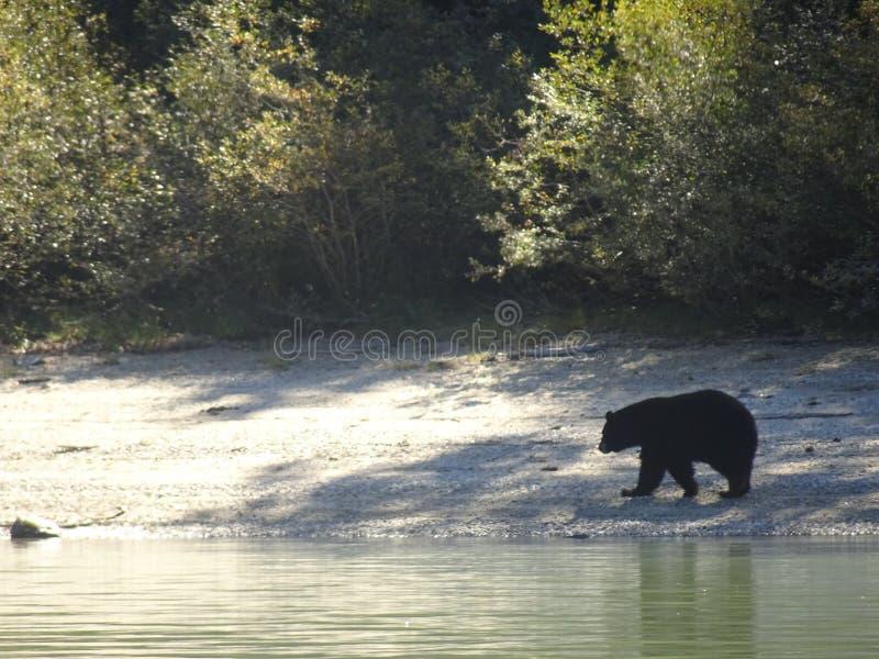 Черный медведь идя вдоль берега в Канаде, Британской Колумбии стоковые фотографии rf