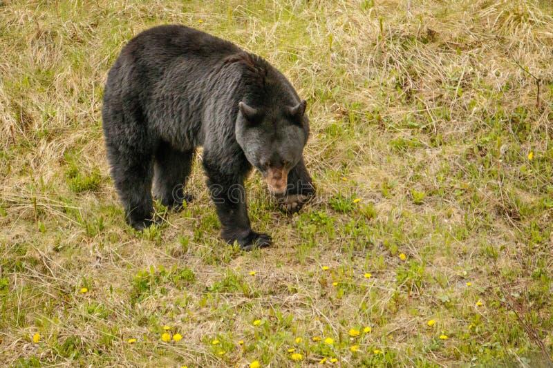 Черный медведь ища еды в канадских скалистых горах стоковое фото