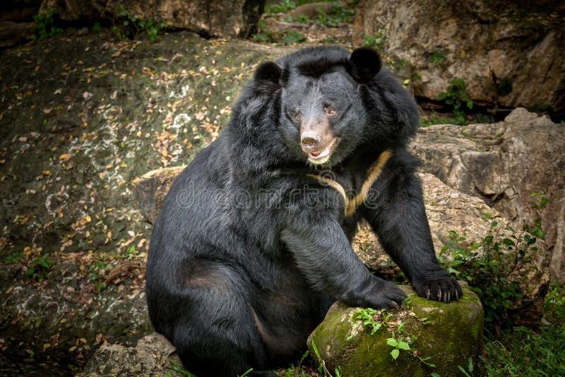Черный медведь ревя в природе стоковые изображения rf