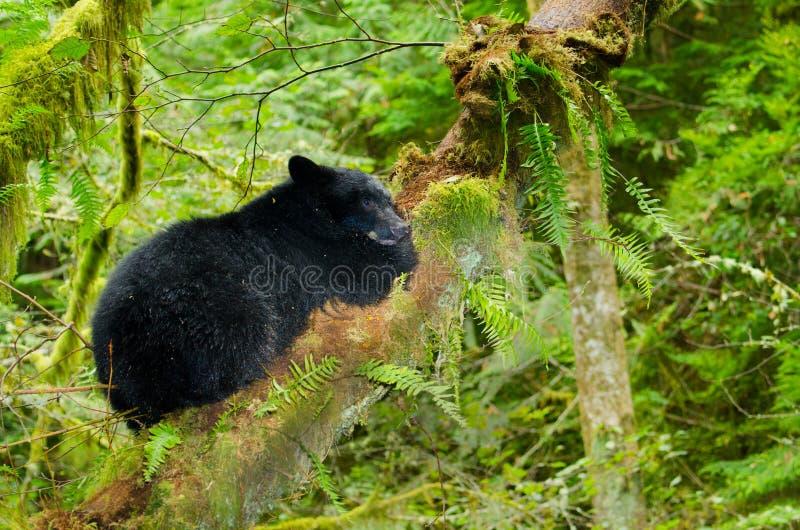 Черный медведь сидя в дереве тропического леса, острове Vanouver, Канаде стоковая фотография