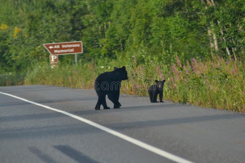 Черный медведь с небольшим новичком младенца пересекая Георгия паркует дорогу шоссе в парке штата Denali, Аляске, Соединенных Шта стоковое фото